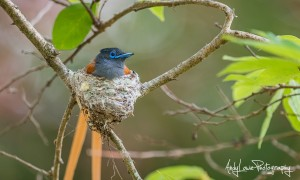 Andy-Lowe-African-Paradise-flycatcher